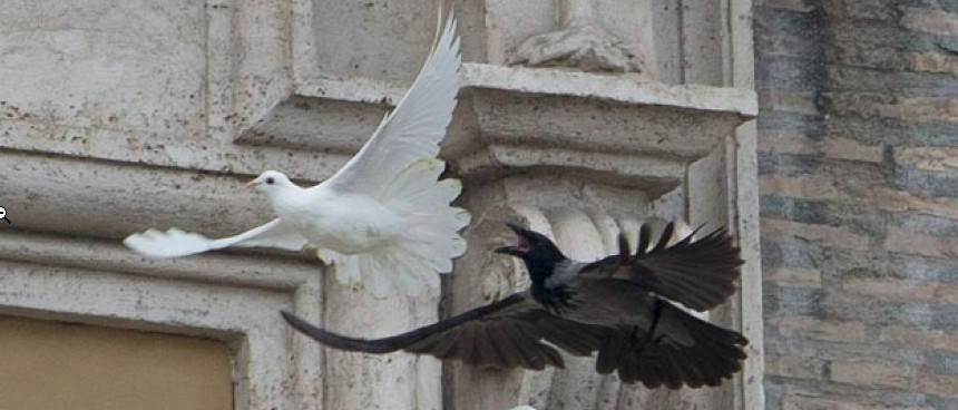 Gennaio 2014 - Colomba del papa predata da un corvo
